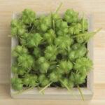 herb Tribulus Terrestris